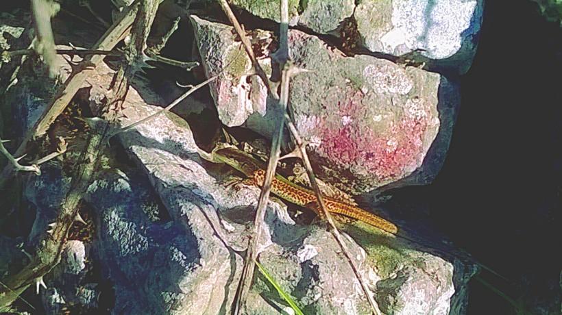 podarcis melisellensis - dalmatian wall lizard