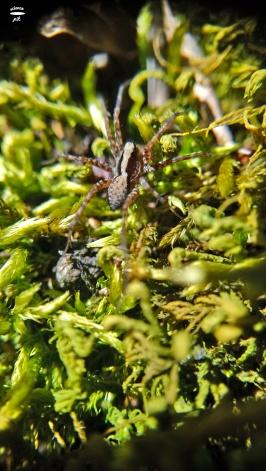 Pardosa sp.; wolf-spider