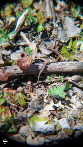 Zootoca vivipara; viviparous lizard
