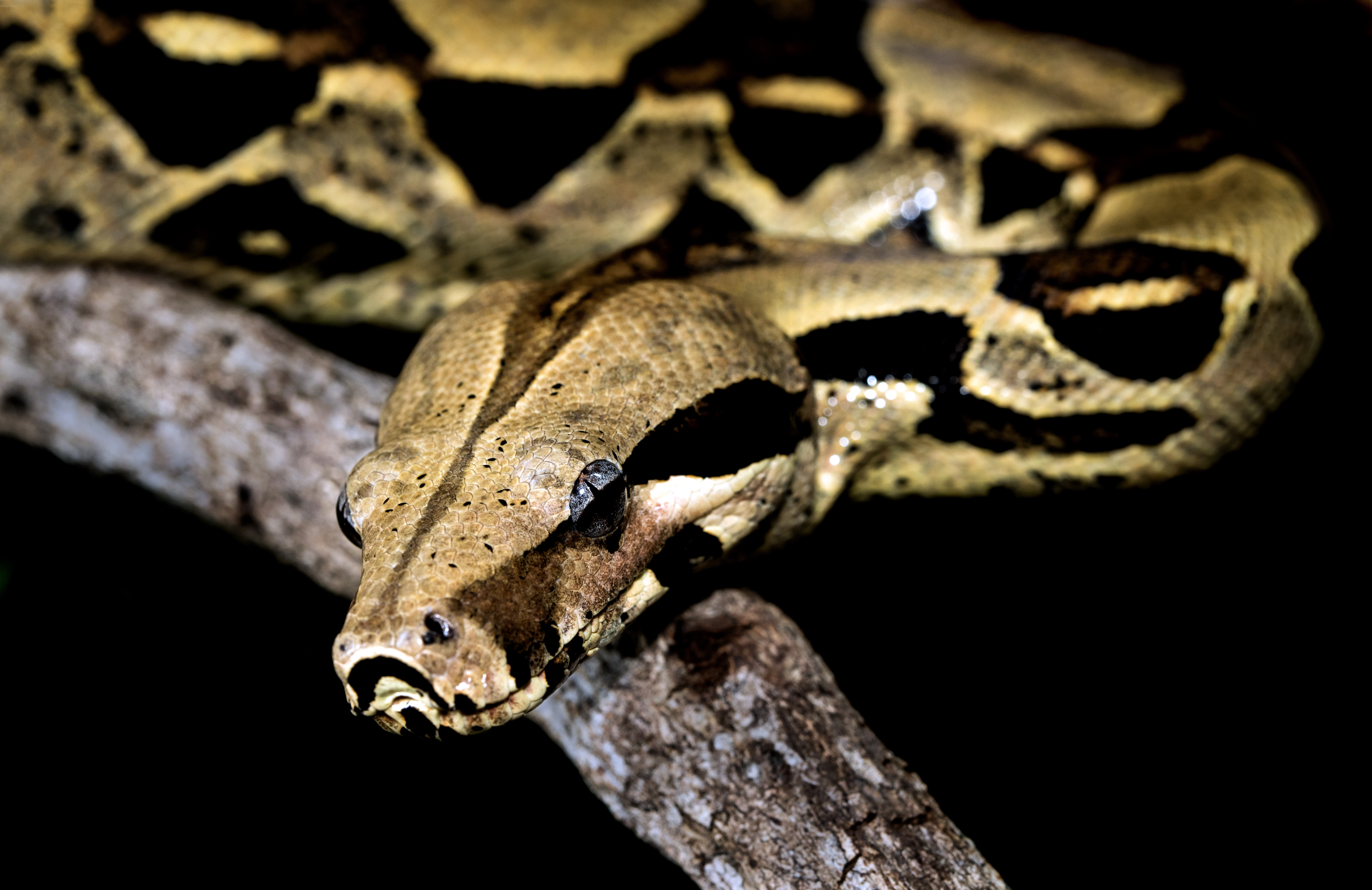 Brown and black snake on a tree branch; black bacground.