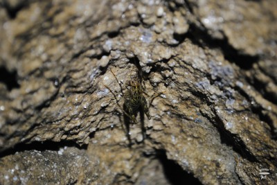 Caves were usually full of these grasshoppers, and they were scary huge!