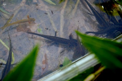 Salamanders everywhere!